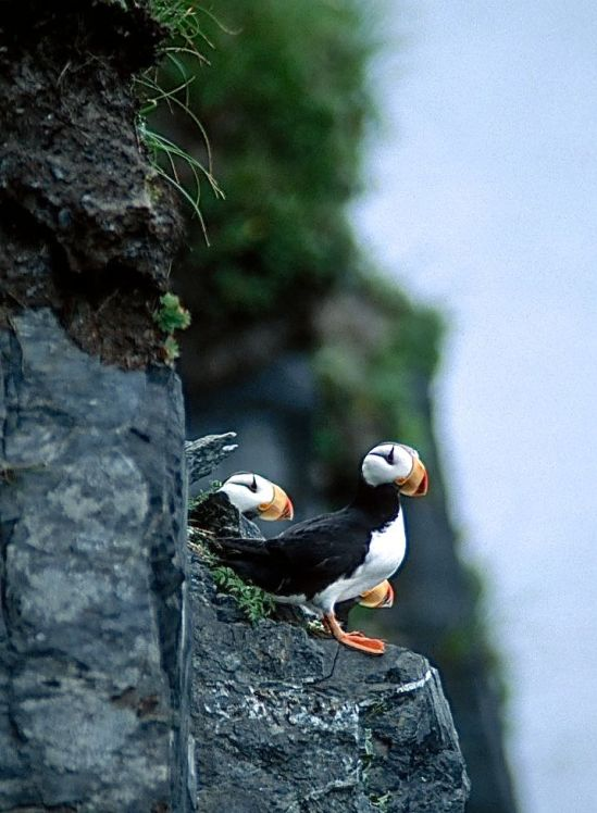 KODIAK-PUFFINS ON ROCK
