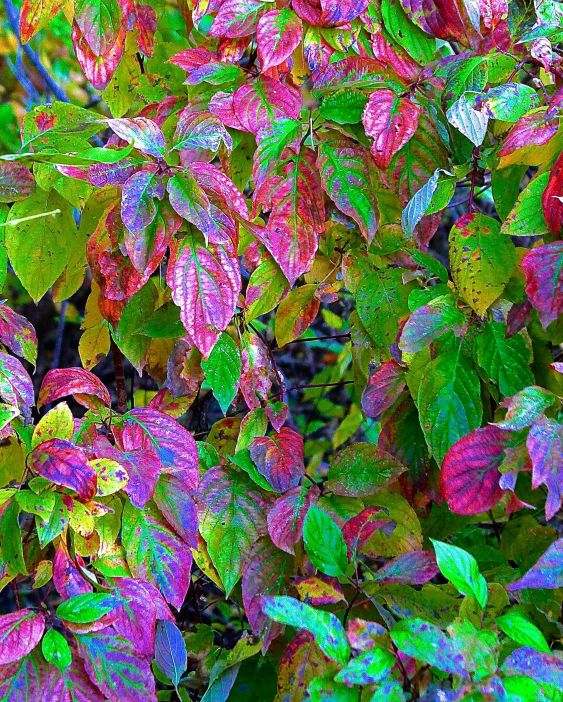 SCENIC-DOGWOOD FALL COLORATION
