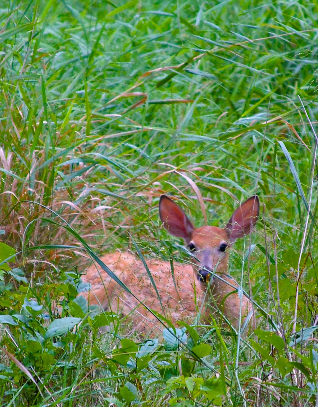 SCENIC-FAWN IN GRASS
