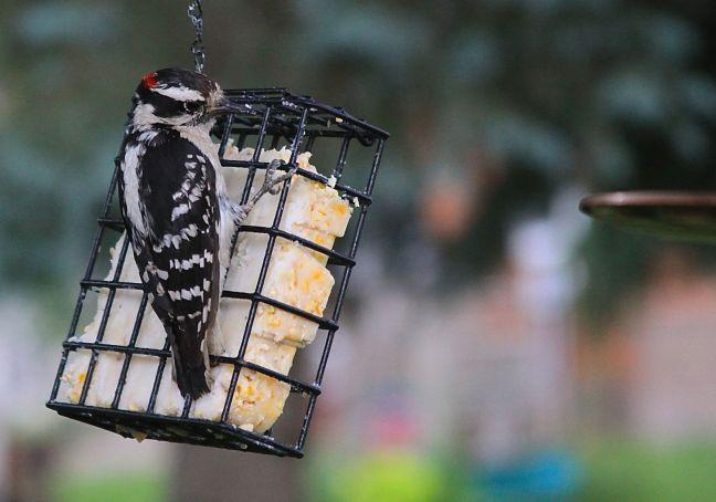 BIRD-DOWNY WOODPECKER AT SUET
