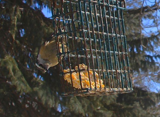 BIRD-NUTHATCH AT SUET FEEDER