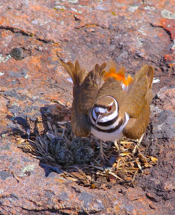 ART-FA-KILLDEER-NEST