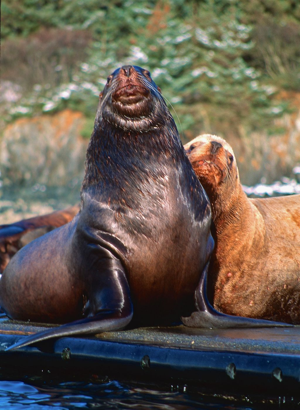 FA-SEA LION PAIR