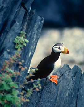 KODIAK-HORNED PUFFIN