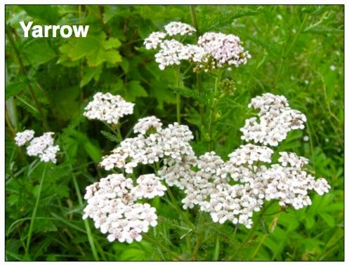 MIDWEST OUTDOORS18-DEC-BLEEDING-YARROW